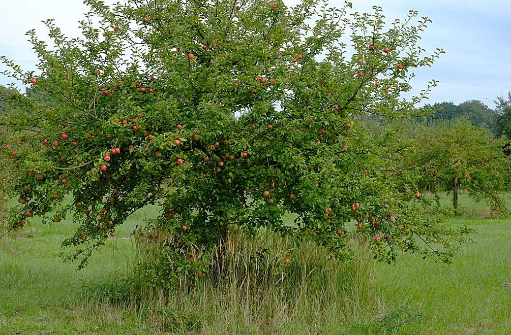 Neben Pflaumenbäumen gibt es auch eine ganze Menge Äpfelbäume auf unserer Wiese. Und auch diese sind radvoll mit Früchten...